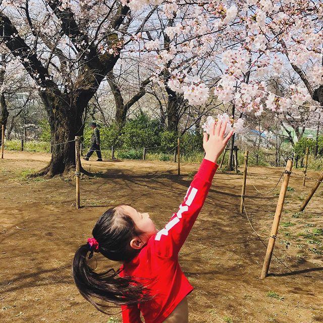 桜開花!美しい日本の春が来ましたね。